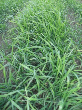 Búzafű: Egészségesen Daganat Nélkül