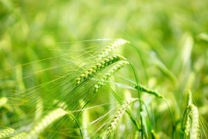 Egészséges táplálkozás: A leghatásosabb az árpafű