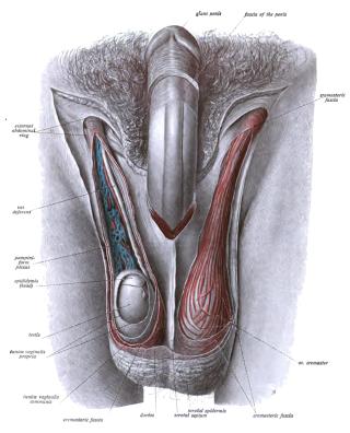 Férfi nemi szervek rosszindulatú daganatai