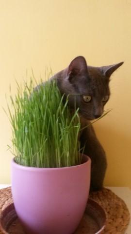 Még a macskák is szeretik a búzafűvet