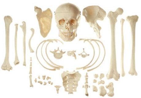 Hány csontja van egy embernek