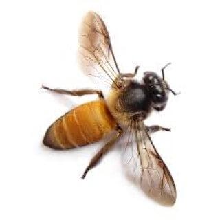 Mennyi méhcsípés a halálos egy átlagos embernek